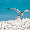 Common Tern Feeding its Chick