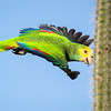 Yellow Shouldered Parrot (Lora)