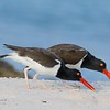 American Oystercatcher Pair
