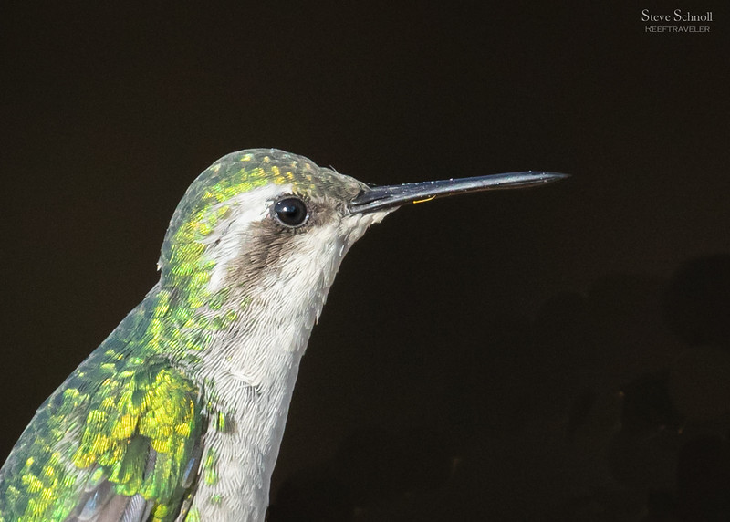 Blue-tailed Emerald Hummingbird Portrait