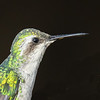 Blue-tailed Emerald Hummingbird Portrait