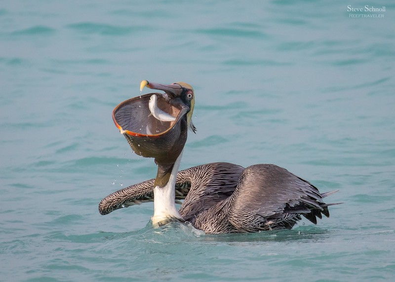 Pelican Feasting on Big Eye Scad