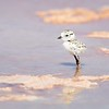 Snowy Plover in Hypersaline Pond