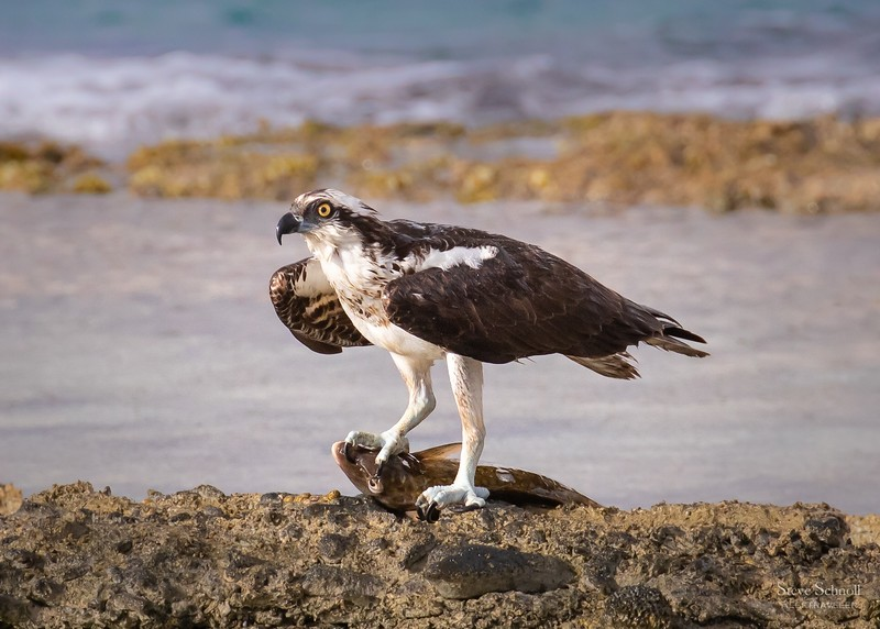 Osprey with Parrotfish