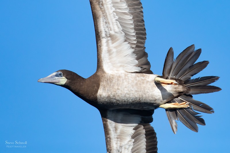 Brown Booby in Flight