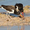 American Oystercatcher Feeding its Young
