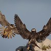 Peregrine Falcon Adult and Juvenile