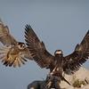 Peregrine Falcon Adult and Juvenile