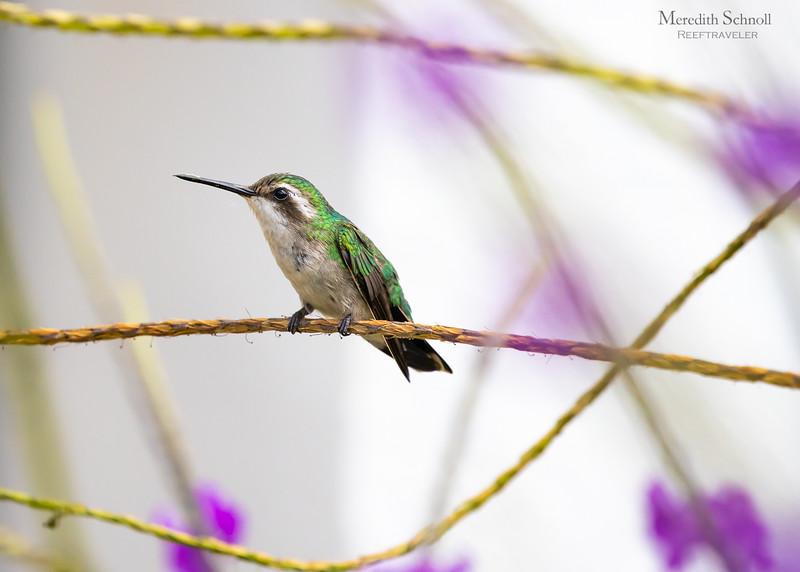 Blue-tailed Emerald Hummingbird (Female)
