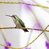 Blue-tailed Emerald Hummingbird (Female)