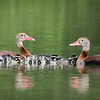 Black-bellied Whistling Ducks with Ducklings