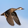 White-cheeked Pintail in Flight