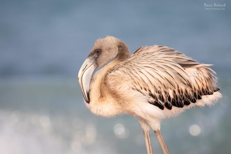 Juvenile Flamingo in the Surf