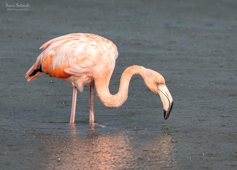 Flamingoing in the Rain