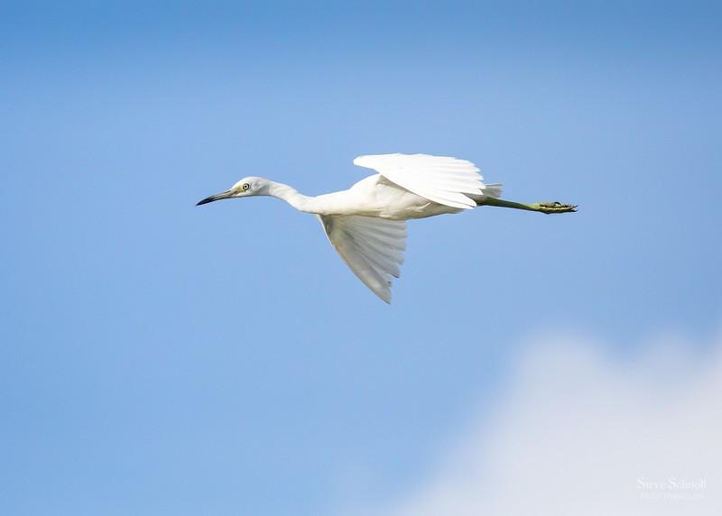 Immature Little Blue Heron in Flight