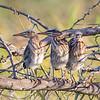 Trio of Juvenile Green Herons
