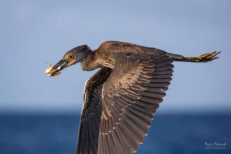Juvenile Yellow-crowned Night Heron with Atlantic Ghost Crab