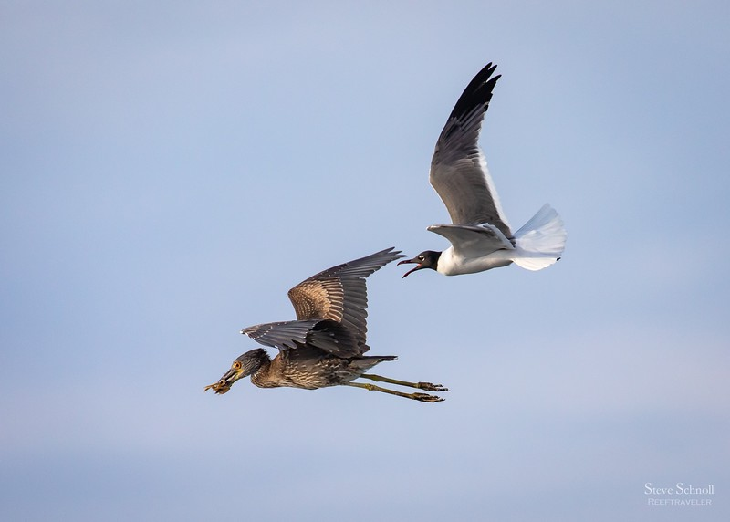 Laughing Gull Chasing a Yellow-crowned Night Heron