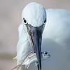 Reddish Egret White Morph with Catch