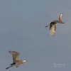Reddish Egrets in Flight