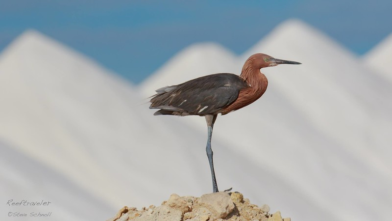 Reddish Egret under Salt Mountain