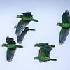 Yellow-shouldered Parrots in Flight