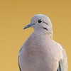 Eared Dove