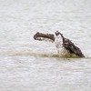 Osprey Bathing in Freshwater Pond