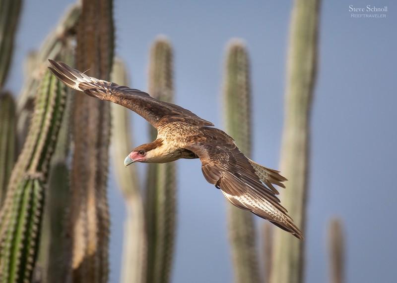 Crested Caracara Juvenile in Flight