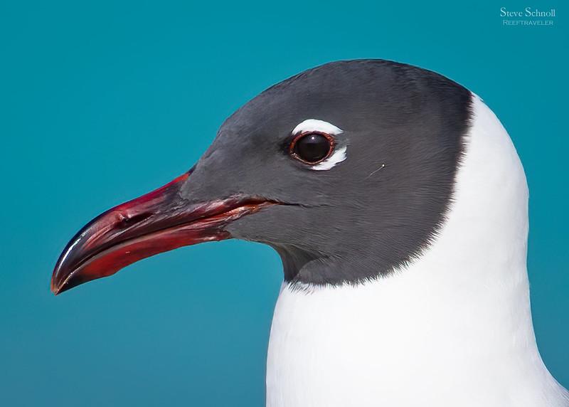 Laughing Gull Portrait