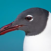 Laughing Gull Portrait