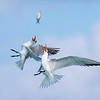 Royal Terns Fishing in Flight
