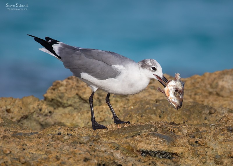 Laughing Gull with Catch