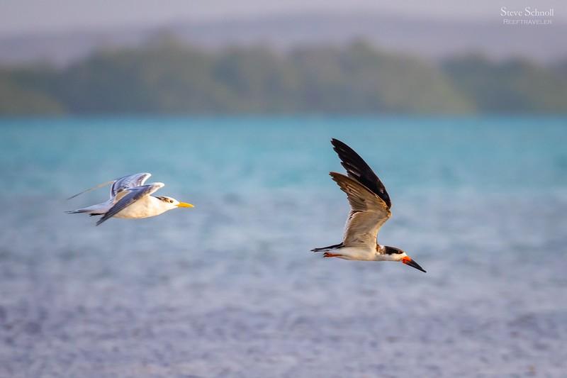 Black Skimmer Chased by Royal Tern