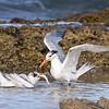 Royal Tern Feeding its Young