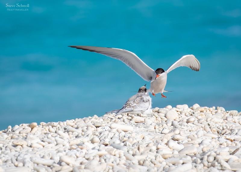 Common Tern Feeding its Chick
