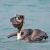 Pelican Feasting on Big Eye Scad