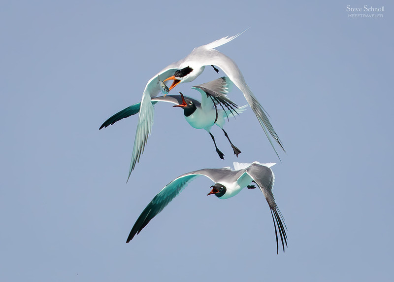 Laughing Gulls and Royal Tern