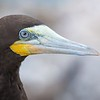 Brown Booby Portrait