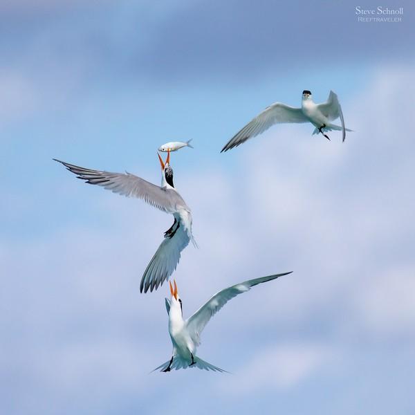 Royal Terns Stealing Fish from Cayenne (Sandwich) Tern