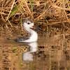 Black-necked Stilt Chick