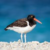 American Oystercatcher on Coral Shore