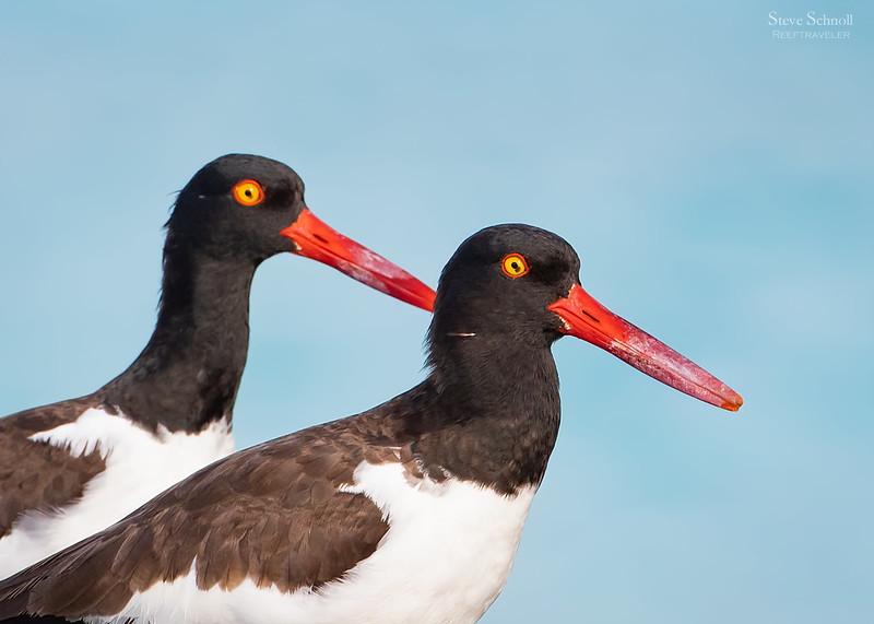 Oystercatcher pair