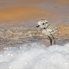 Snowy Plover Chick among Salty Foam