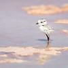 Snowy Plover in Hypersaline Pond