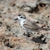 Snowy Plover with Breeding Plumage