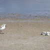 Snowy Plover Watching Over Chicks