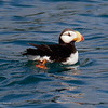 Horned Puffin near Seldovia in the Cook Inlet