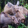 Moose Cow and Calf in Denali National Park