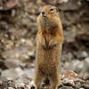 Arctic Ground Squirrel in Denali National Park